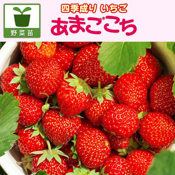 イチゴ:四季なりいちご あまごこち3号ポット12株セット