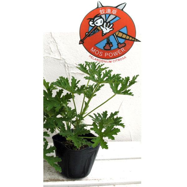 蚊連草(蚊よけ植物かれんそう)3号ポット12株セット
