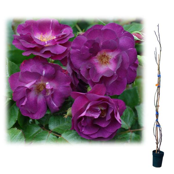 [長尺バラの大苗予約:第二弾]つるバラ:ソニャドール大苗長尺6号ポット