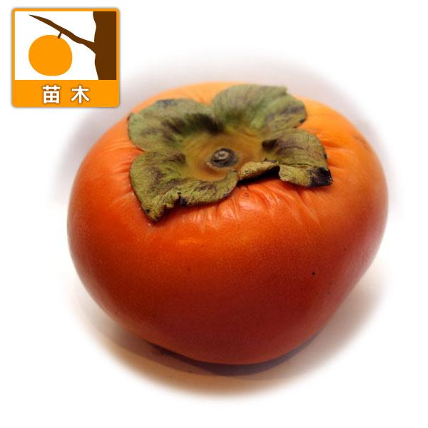 カキ(柿):まえかわわせじろう(前川早生次郎)4号ポット
