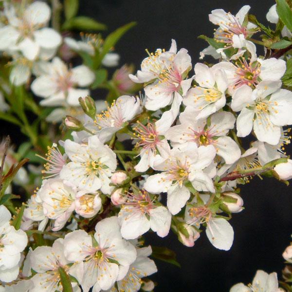 ニワザクラ(庭桜):白花一重4〜5号ポット