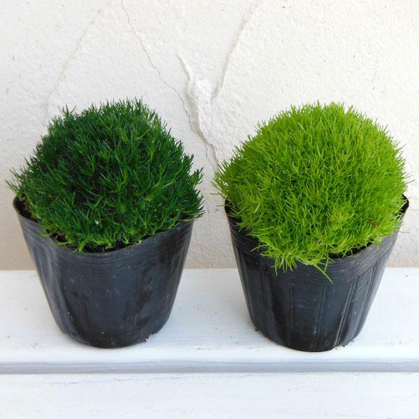 サギナ(アイリッシュモス):グリーン&ライトグリーン3号ポット 6株セット
