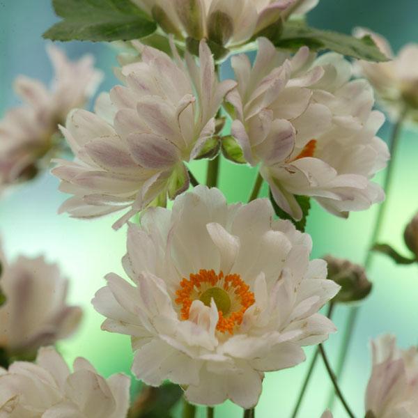 シュウメイギク(秋明菊):牡丹咲き(ぼたん咲き)3.5号ポット 6株セット