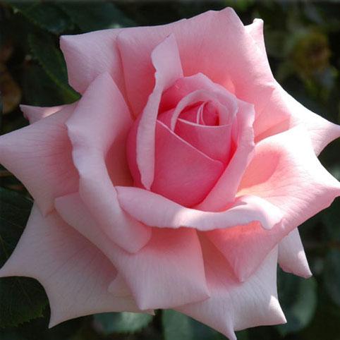 [長尺バラの大苗予約:第二弾]つるバラ:羽衣(はごろも)大苗長尺6号ポット