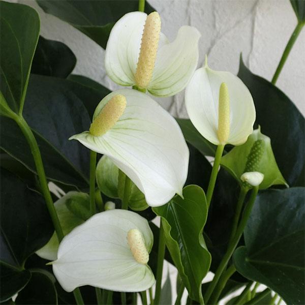 アンスリウム:ホワイトチャンピオン(白) 6号鉢植え