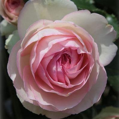 [長尺バラの大苗予約:第二弾]つるバラ:ピエール・ド・ロンサール 大苗長尺6号ポット