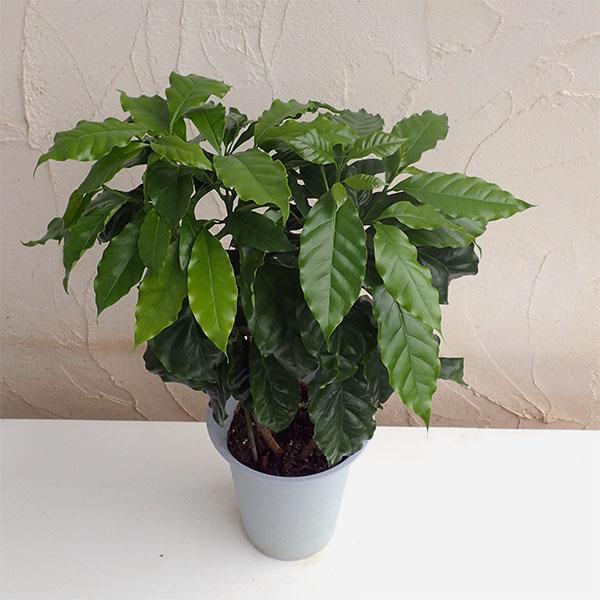 コーヒーの木 6号鉢植え