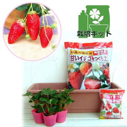 いちごプランター栽培キット:あきひめ(章姫)3株セット