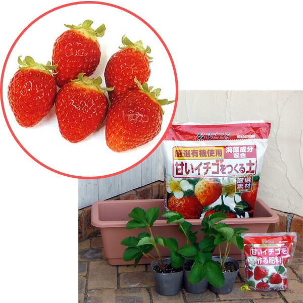 いちごプランター栽培キット:レッドパール3株セット