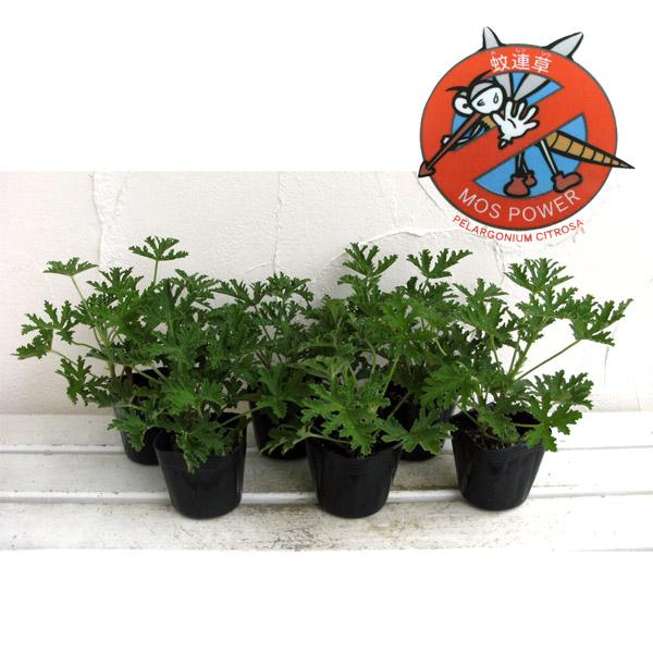 蚊連草(蚊よけ植物かれんそう)3号ポット6株セット