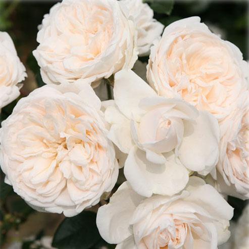 [長尺バラの大苗予約:第二弾]つるバラ:サマー メモリーズ大苗長尺6号ポット