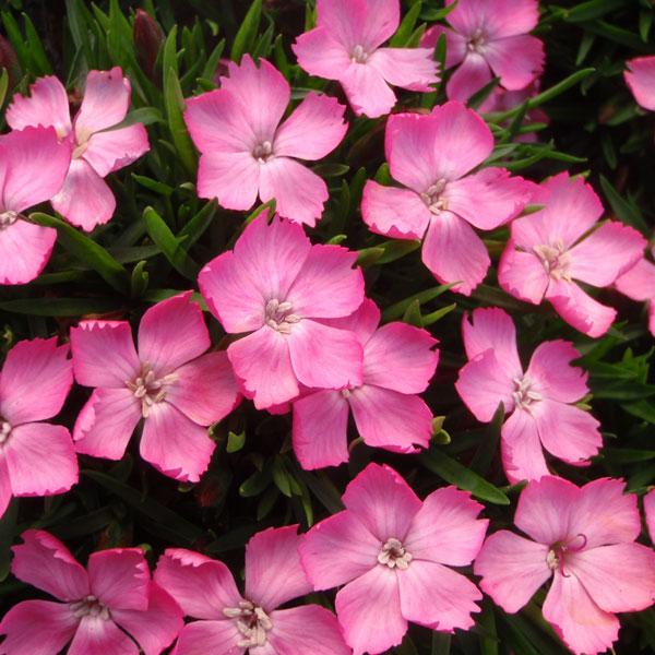 ナデシコ:花はなライトピンク3号ポット12株セット