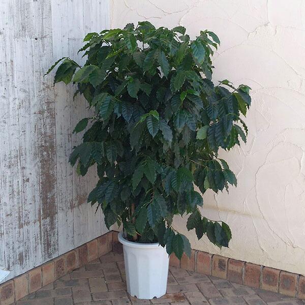 コーヒーの木 10号鉢植え高さ120cm