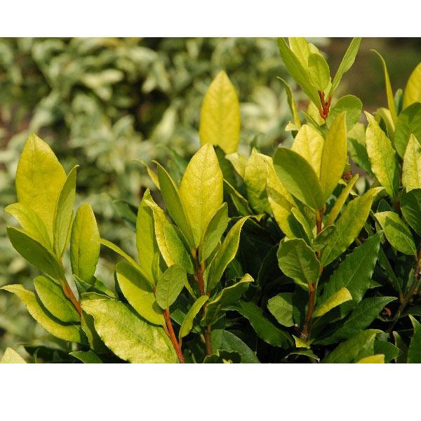 ゲッケイジュ(月桂樹):オーレア 樹高1m 根巻きまたは地中ポット