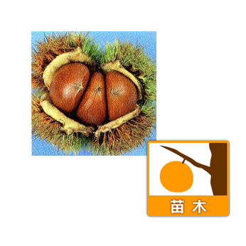 クリ(栗):クニミ(国見)4〜5号ポット