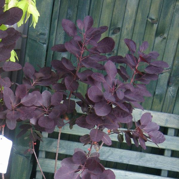 スモークツリー:ロイヤルパープル樹高1.5m根巻き