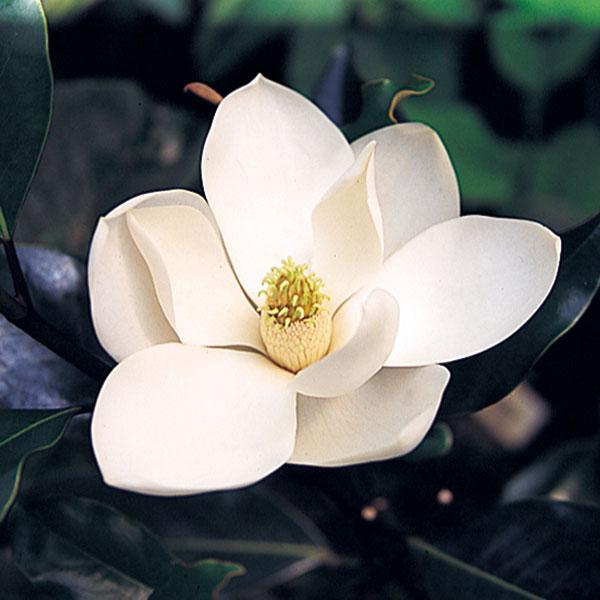 タイサンボク:リトルジェム8号ポット樹高1m