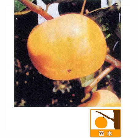 カキ(柿):かんしゅう(甘秋 )4〜5号ポット