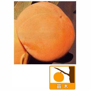 カキ(柿):ニシムラワセ(西村早生)4〜5号ポット