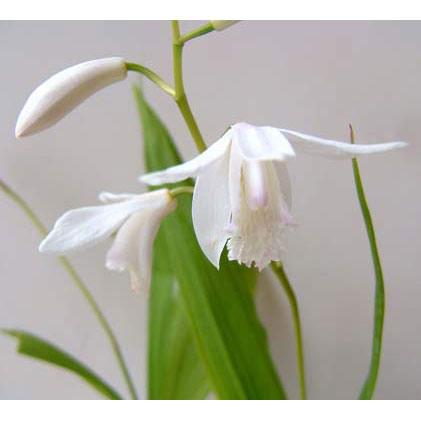 シラン:白花3号ポット2株セット