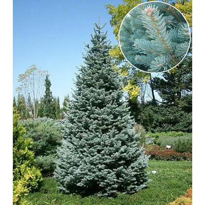 アルプスモミ:アリゾニカ コンパクタ7号ポット樹高25cm