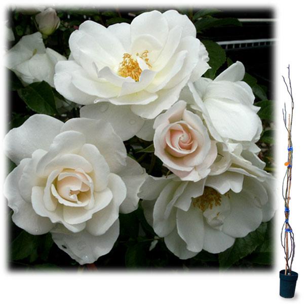 [長尺バラの大苗予約:第二弾]つるバラ:アイスバーグ 大苗長尺6号ポット