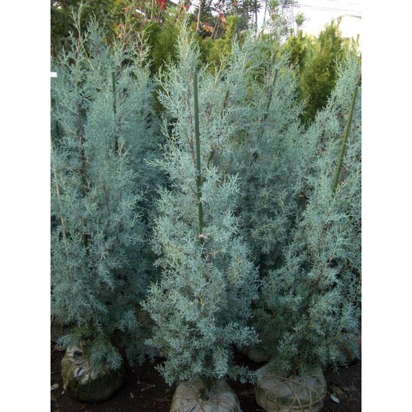 クプレッサス(アリゾナイトスギ):ブルーアイス樹高1m 3株セット