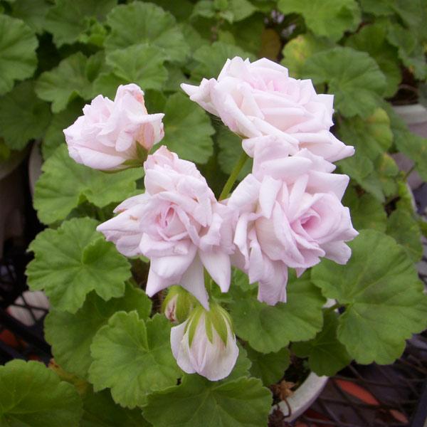 バラ咲きゼラニウム:ミルフィーユローズ3号ポット2株セット