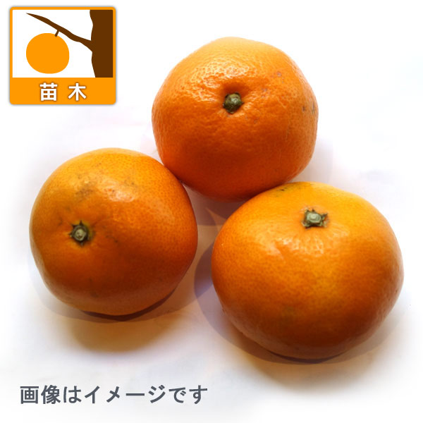 ウンシュウミカン:にちなんいちごう(日南1号)4.5号ポット