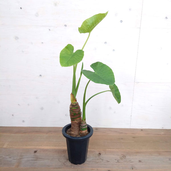 クワズイモ 7号鉢植え