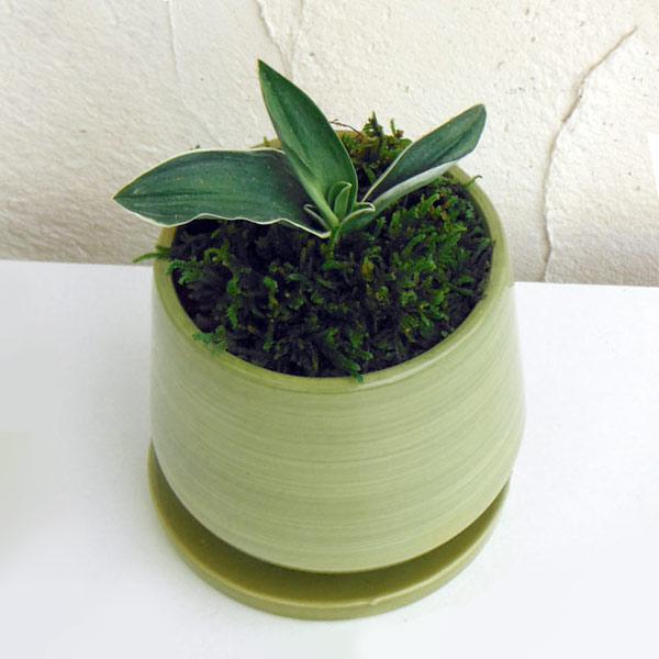 万年青 (おもと):お多福 オリーブ陶器鉢植え・受け皿付き
