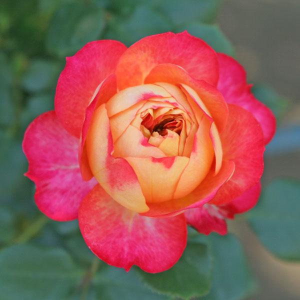 つるバラ:ソレイユ ロマンティカ大苗