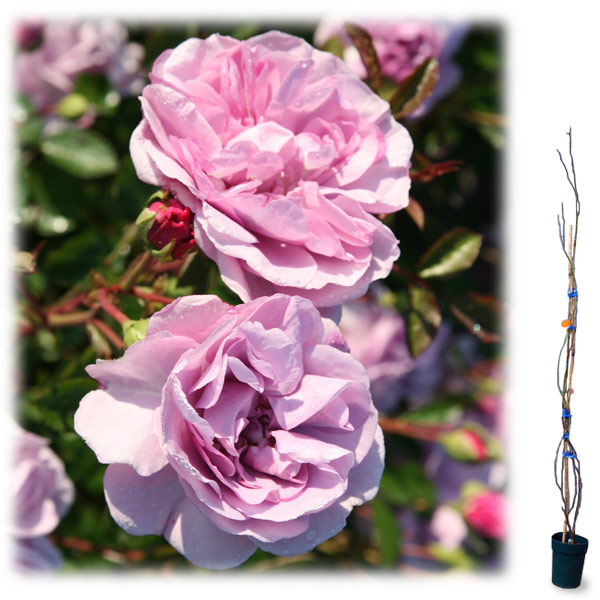 [長尺バラの大苗予約:第二弾]つるバラ:レイニーブルー大苗長尺6号ポット