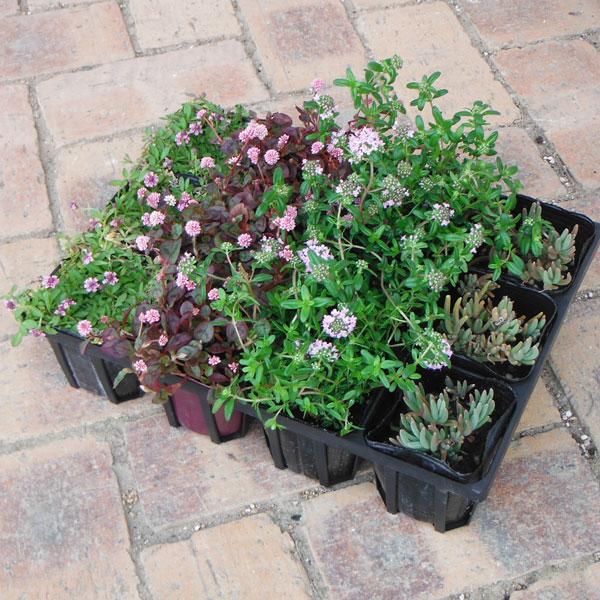 おためし4種12株セット:乾燥に強い日なたのグランドカバー植物2