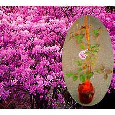 ツツジ:東国(トウゴク)ミツバツツジ樹高1.2m根巻き