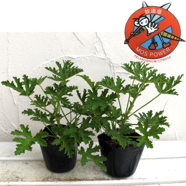 蚊連草(蚊よけ植物かれんそう)3号ポット2株セット