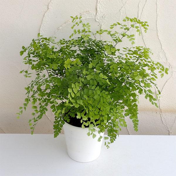 アジアンタム:フラグランス5号鉢植え