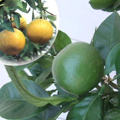グレープフルーツ(白)8号鉢植え[実付き]