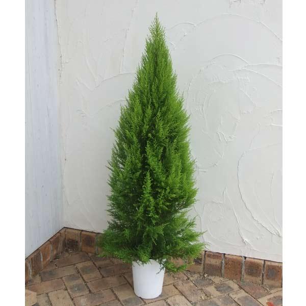 ゴールドクレスト7号鉢植え樹高約1m