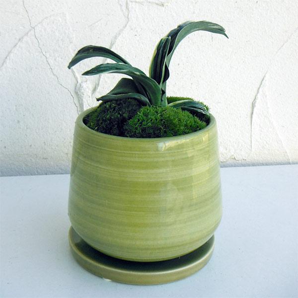 万年青 (おもと):剣舞 オリーブ陶器鉢植え・受け皿付き