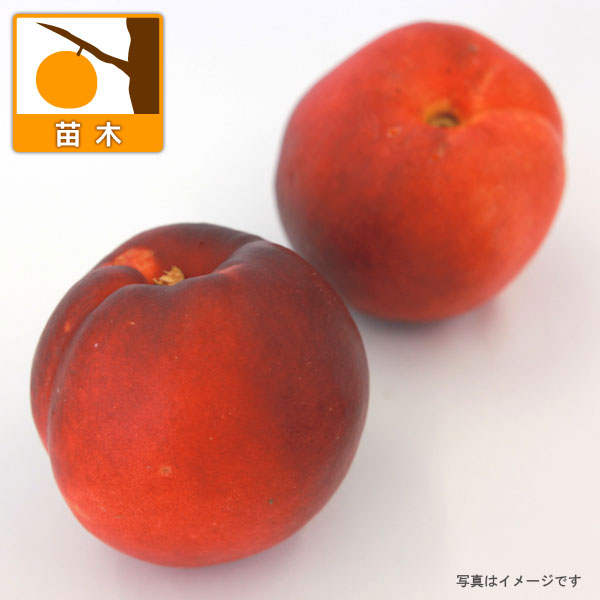 ネクタリン:ファンタジア4〜5号ポット