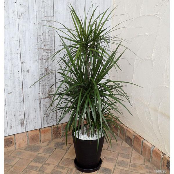 緑の楽園:ドラセナ コンシンナ(マジナータ) 8号鉢植え(皿付)