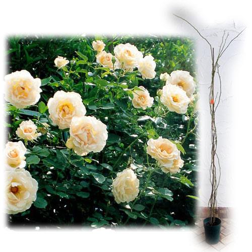 [長尺バラの大苗予約:第二弾]つるバラ:ロココ大苗長尺6号ポット