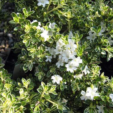 ハクチョウゲ(白丁花):斑入り5号ポット