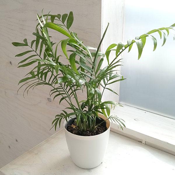 テーブルヤシ:4号鉢植え