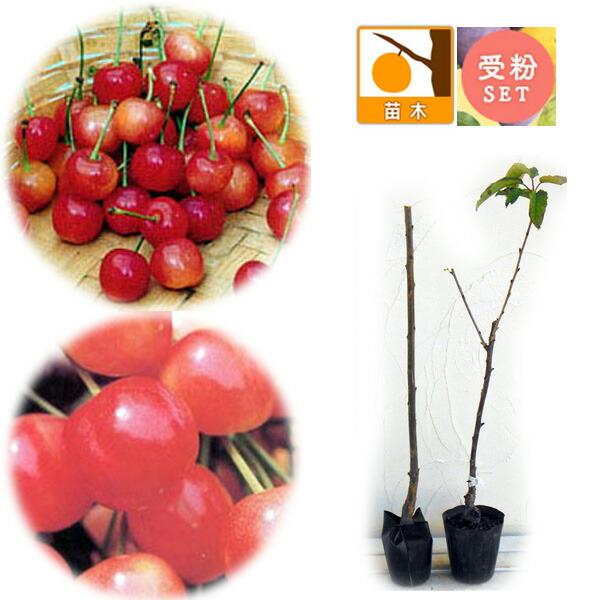 サクランボ2種受粉樹セット:なんよう(南陽)とたかさご(高砂)接木苗4〜4.5号ポット