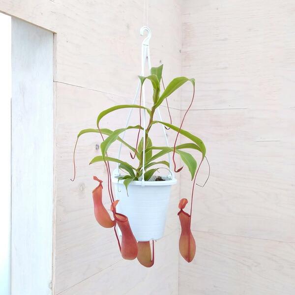 食虫植物:うつぼかずらアラタ4号吊鉢入り