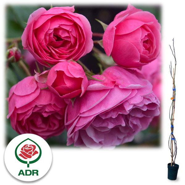 [長尺バラの大苗予約:第二弾]つるバラ:ポンポネッラ 大苗長尺6号ポット