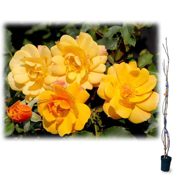 [長尺バラの大苗予約:第二弾]つるバラ:サイレンス イズ ゴールデン大苗長尺6号ポット