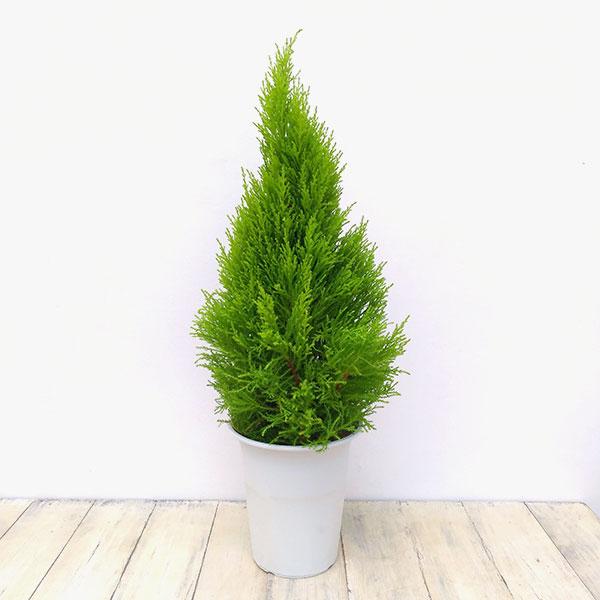 ゴールドクレスト6号鉢植え樹高約60cm